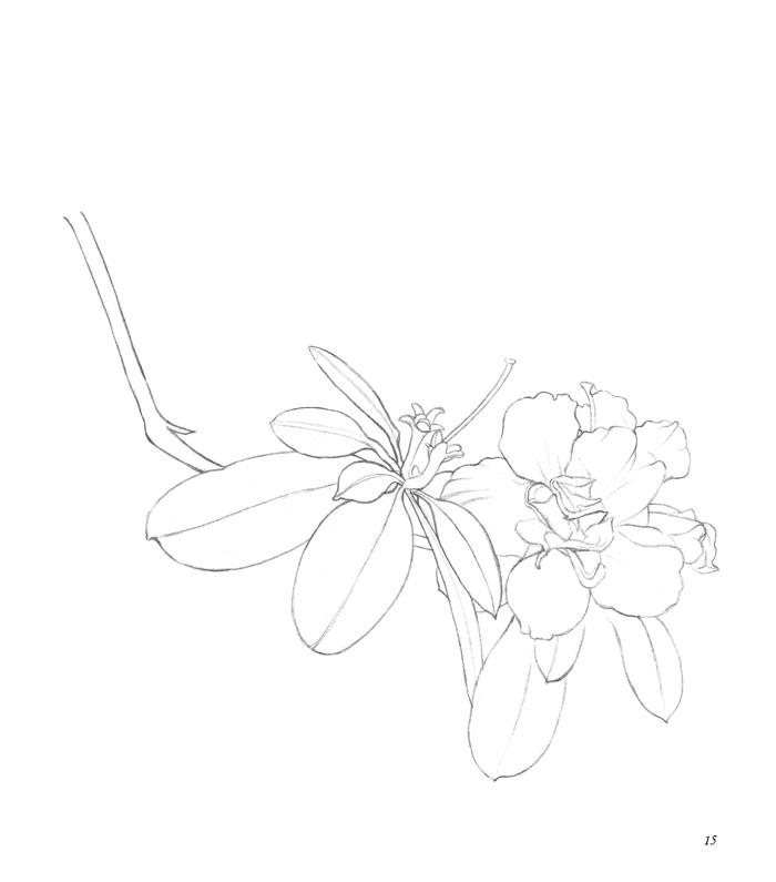 彩铅手绘 合欢花